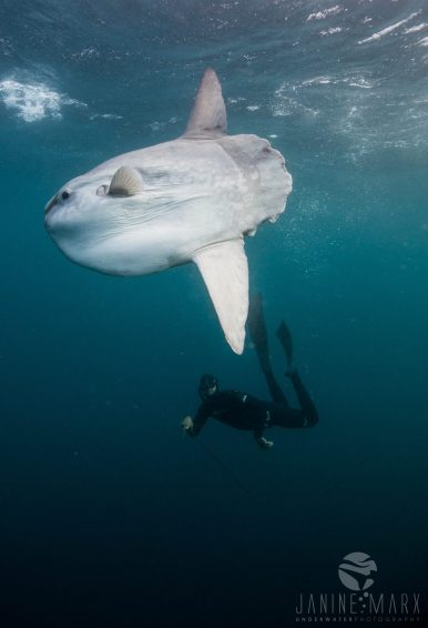 Mola Mola aka sunfish excitement sardine run 2017