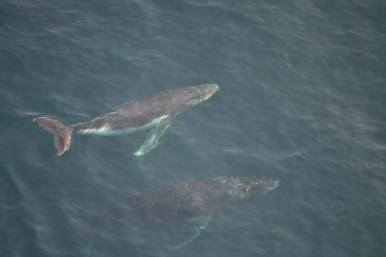 Our aerial view of humpback whales