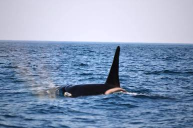 Orca's sardine run 2017