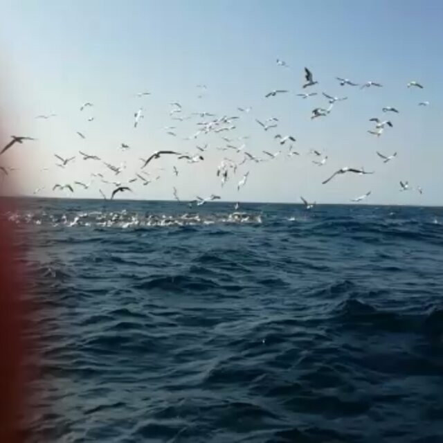 Day 42 sardine run and it went off. 5 smallish baitballs today. Yellowfin tuna. Brydes whale. Plenty of sharks. Common dolphins. Gannets. And we are the only boat out here. What a privilege. #sardinerun2017 #localisgood  #portstjohnslocal #sardinerunlocaloperator #offshoreafrica #portstjohns