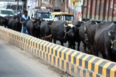 A convoy of cattle on the roads of Agra