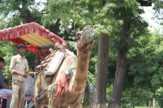 Lazy camel shuttling passengers