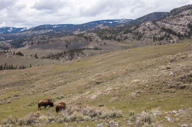 Bison are abundant on this trail