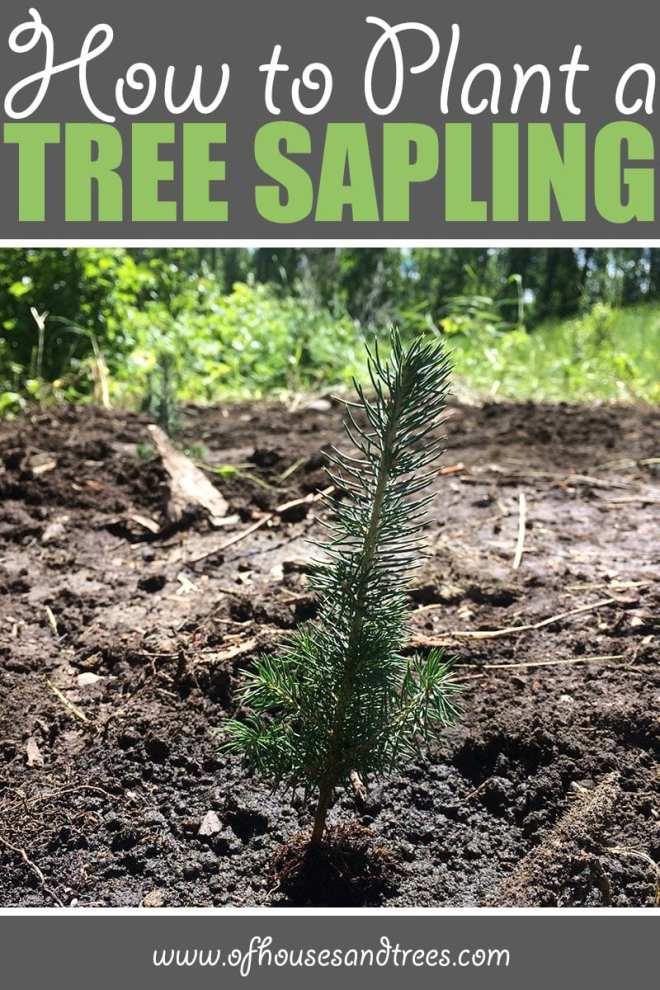 Planting a Sapling   There's nothing like planting a sapling. They're so tiny, it's almost unimaginable one day they'll be towering trees. But with proper care - they will!
