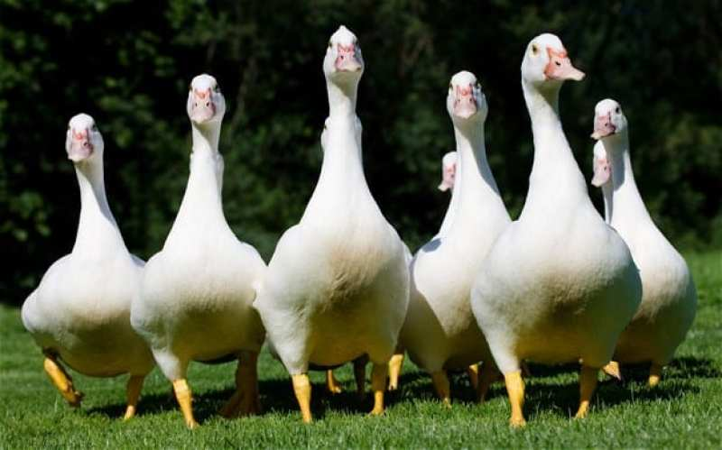 Help protect these happy geese and their feathers by purchasing vegan bedding.