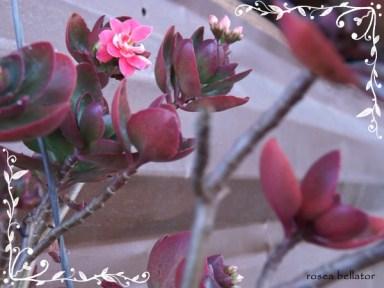 Yule é a esperança, é a promessa de que tudo melhorará. Yule nos estimula a ter fé, a acreditar que mesmo em muros de rocha é possível nascer lindas flores. Foto: Rosea Bellator
