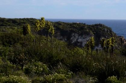 Chagual (Puya chilensis)