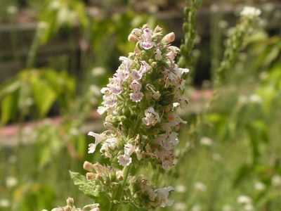 Catnip is an amazing bug repellent and it will keep your cats happy