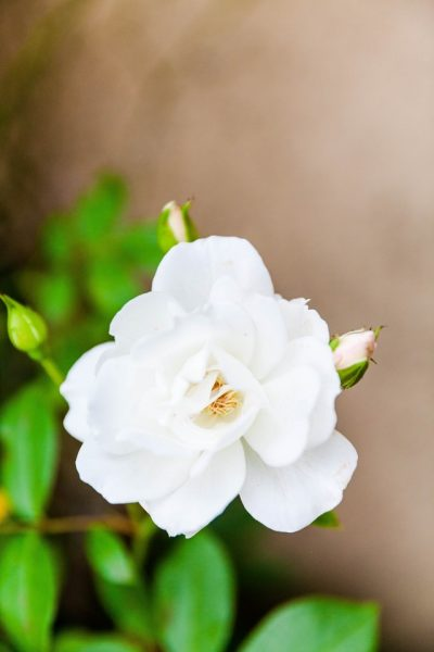 Get better sleep at night by placing a pot of gardenias in your bedroom.