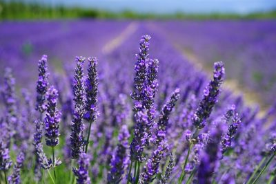 Get better sleep at night by placing a lavender house plant in your bedroom.