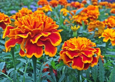The scent of marigolds repels pesky bugs such as mosquitoes.