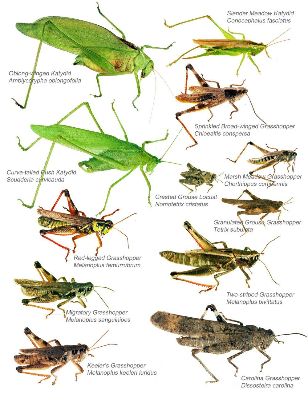 medium resolution of katydid life cycle diagramkatydid life cycle diagram photo 16