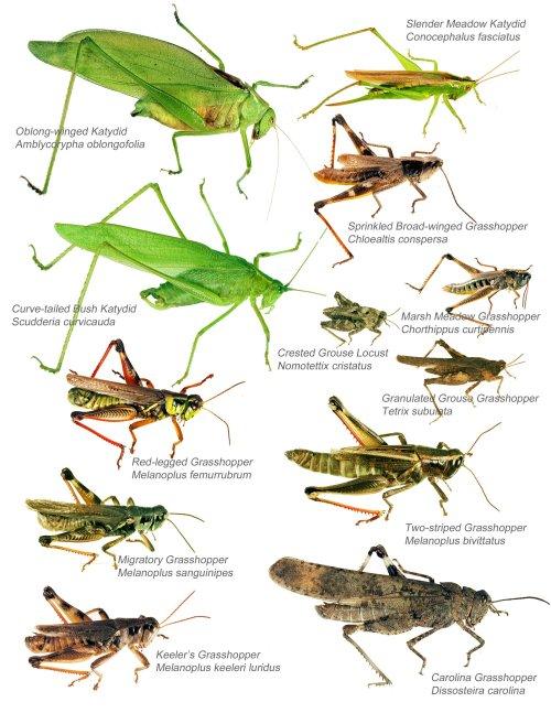 small resolution of katydid life cycle diagramkatydid life cycle diagram photo 16