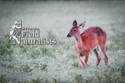 White Tailed Deer, By - Mark English