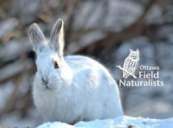 Snowshoe Hare - By, Jariya Rasa