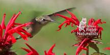 Ruby-Throated Hummingbird - By, Suzanne Britton