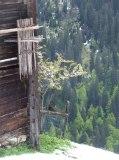 Apfelblüten vor dem Stall in der Oswalds Rüti. Die alten Bäume von denen ich noch eigenes Obst erntete sind nicht mehr da. Doch hat jemand im Schutze des Gebäudes mit Erfolg wieder einen Obstbaum gepflanzt. Die Heinzen, die an der Stallwand aufgehängt sind, hatten wir noch aktiv gebraucht um Heu nach zu trocknen bei schwierigen klimatischen Bedingungen in dieser Berglage. - This was one of the barns we used to put up hay in. It is at the lowest elevation of all the hayfields of Tenna (1300 m/ 4000 ft above sea level). This was the only location that supported fruit trees. Somebody replanted an apple tree since I left the farm and kept the tradition going.
