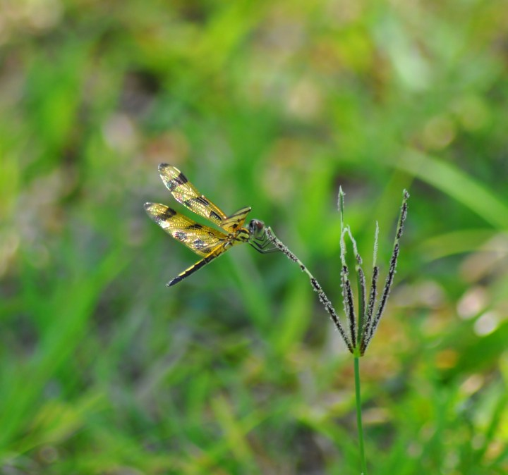 Dragonfly Brian Piccolo Irridescence