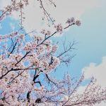 「桜」のことをマジメに考えてみた。