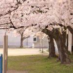 グラウンドの桜の木の下で仲間の写真を撮った。