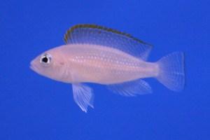 Crediti immagine: Melanochromis (dominio pubblico)