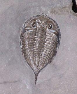 489px-Dalmanites_limulurus_trilobite_silurian
