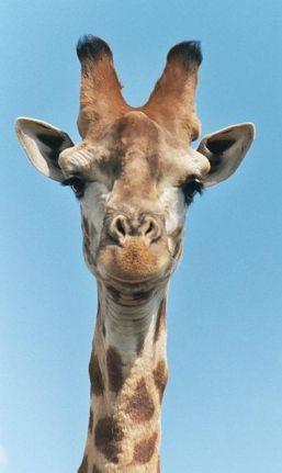 357px-Giraffe-closeup-head