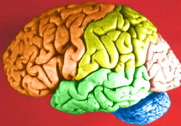 Brain_-_Lobes