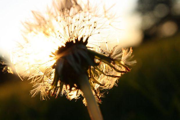 800px-Sunlight_through_a_dandelion