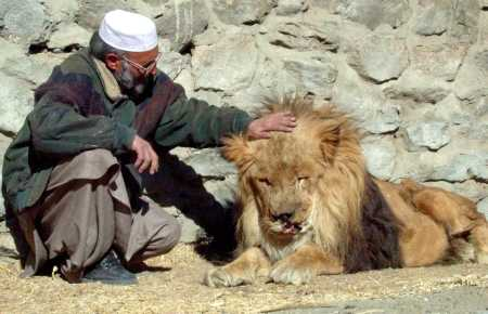 injured_marjan_lion_in_kabul_zoo