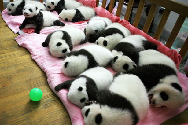 a-group-of-giant-panda-cubs-napping-at-a-nursery-in-the-research-base-of-the-giant-panda-breeding-centre-in-chengdu-pic-getty-images-434957843