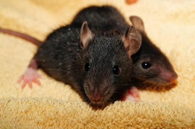 rat-435950_1280
