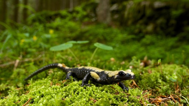 Golden alpine salamander