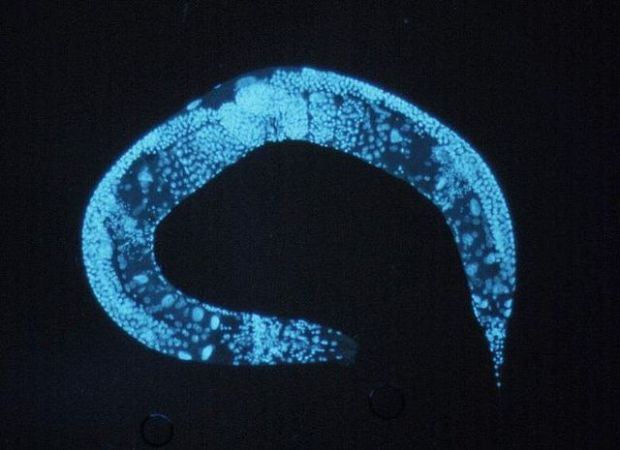 640px-Enlarged_c_elegans