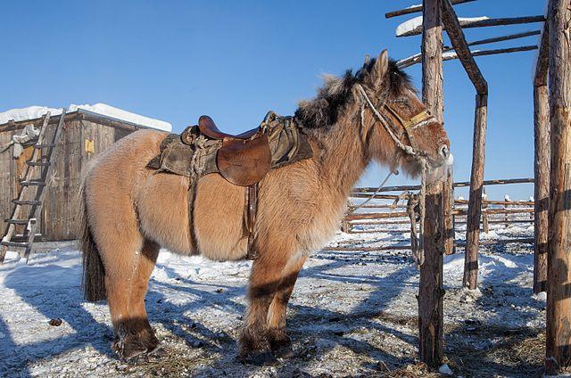 cavallo-yakut