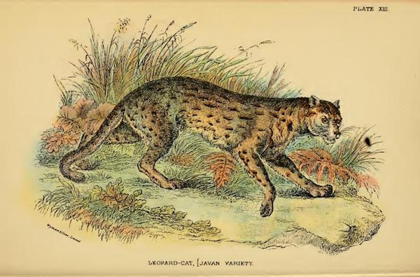 """Un gatto leopardo, sottospecie Prionailurus bengalensis javanensis. Lloyd's Natural History: """"A hand-book to the Carnivora. Part 1, Cats, civets, and mongoose"""" by Richard Lydekker"""