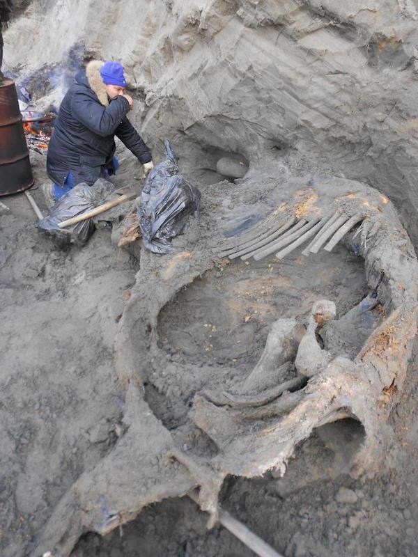 I resti di mammut trovati vicino alla baia del fiume Enisey. Foto di V. Pitulko et al.