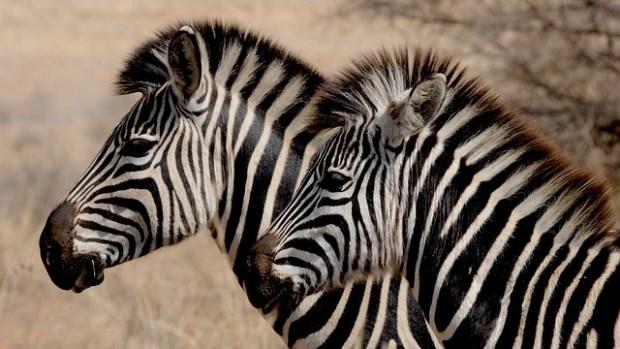 zebra-927272_640