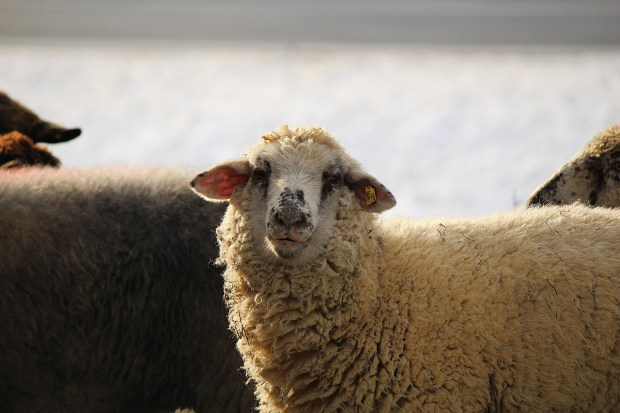 sheep-585791_1280