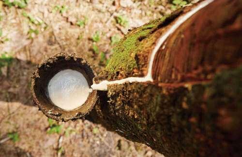 乳膠墊原料-橡樹汁液