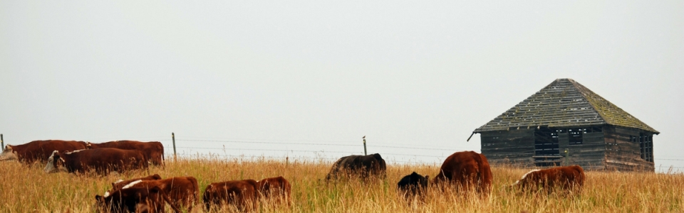 Cattle Grazing in the Summer of 2017