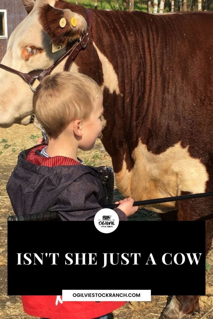 Isn't She Just A Cow? Cows can hold a special place in ranchers' hearts. #ranching #cows #Cattleranching