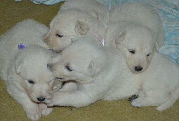 Beli švajcarski ovčari, prodaja štenaca i mladih pasa
