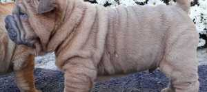 Shar Pei štenci