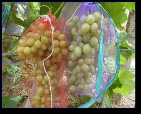 Чем опрыскивать виноград от ос. Методы, позволяющие уберечь виноград от ос и птиц