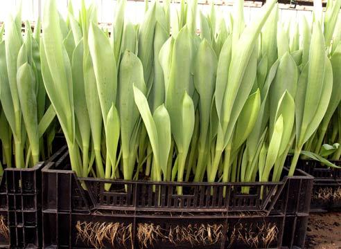 Что делать с луковицами тюльпанов после выкопки. Выгонка тюльпанов
