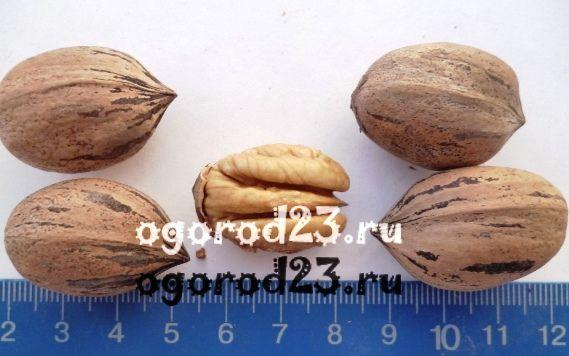 Как вырастить пекан в домашних условиях. Кария (Пекан): описание, агротехника и свойства ореха