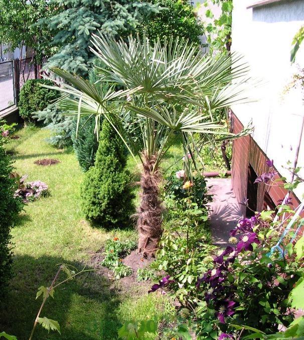 pierde greutatea palmierilor)