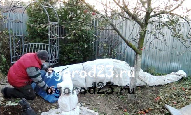 Как укрыть куст розы на зиму. Как уберечь от морозов розовый куст: готовим цветы к зиме. Видео: как укрыть на зиму штамбовую розу