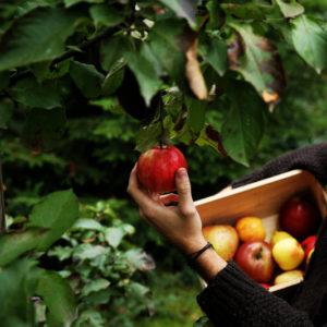 При какой температуре хранить яблоки на балконе